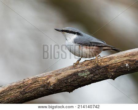 Eurasian Nuthatch, Sitta Europaea, Sitting On Dead Branch, Vertical Image