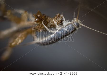 Insect Lepisma Saccharina, Thermobia Domestica. Silverfish.