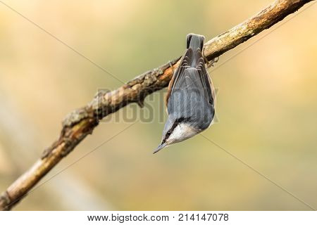 Eurasian Nuthatch, Sitta Europaea, Hanging Upside Down From A Dead Branch