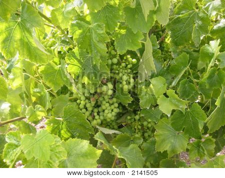 Grape On A Vine