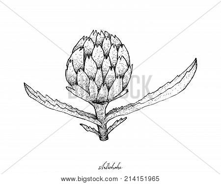 Vegetable, Illustration of Hand Drawn Sketch Delicious Fresh Artichoke Flower with Green Leaves Isolated on White Background.