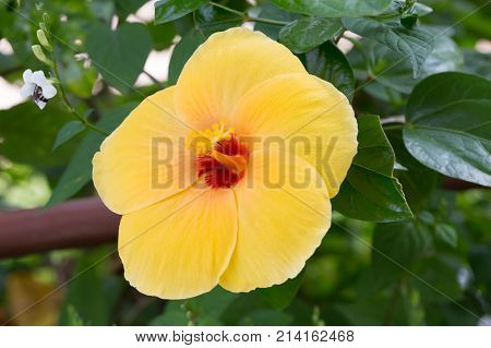 Yellow Hibiscus Flower On Tree