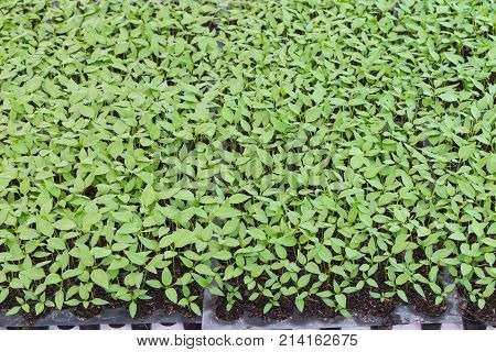 Young chilis plant in nursery house., seeding plant
