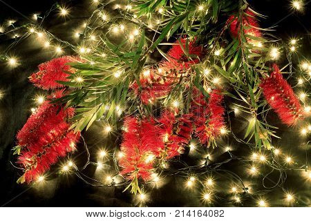 Bottlebrush Flowers and Fairy Lights on Black Background