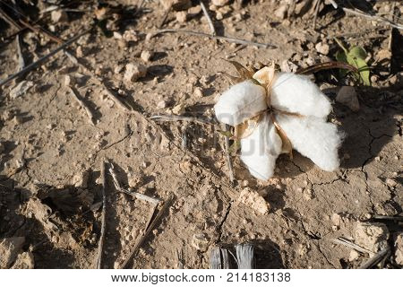 Close up of a fallen opening cotton boll in the field on the ground