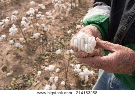 Farmer showing holding an open cotton boll in the the field
