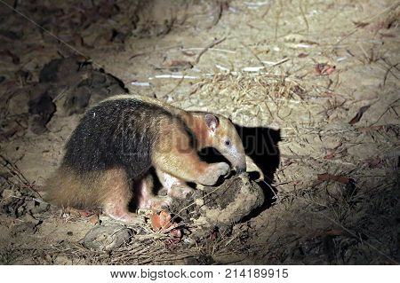 Collared Anteater aka Southern Tamandua Lesser Anteater. Rio Claro Pantanal Brazil