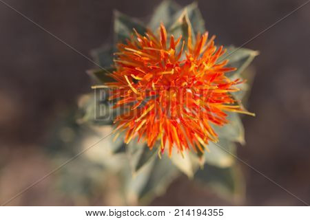 safflower. macro . In the park in nature