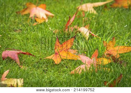 Autumn Maple Leaves On A Green Lawn