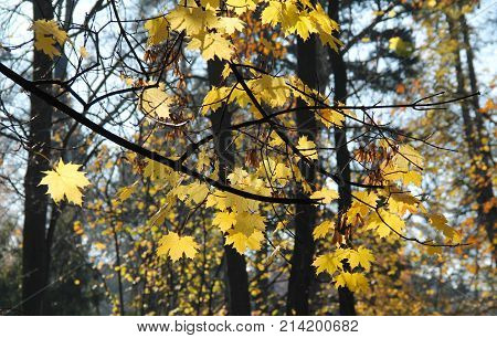 branches of maple tree with bright yellow leaves enlightened with the sun