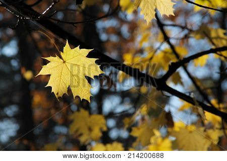 one bright yellow leaf of maple tree enlightened with the light on sunny autumn day