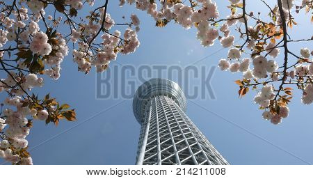 Tokyo, Japan - April 19, 2017: Tokyo Skytree with cherry blossoms in full bloom in Sumida District. Tokyo Skytree is the tallest tower in the world, broadcasting and observation tower. Blue sunny sky.