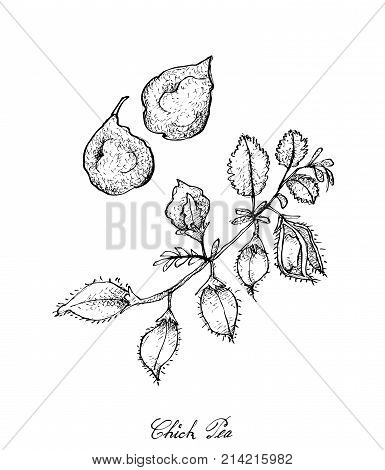 Vegetable and Herb, Illustration of Hand Drawn Sketch Fresh Young Garbanzo Beans or Chick Pea Pods on A Tree, Good Source of Dietary Fiber, Vitamins and Minerals.
