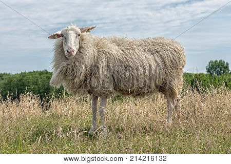 curious sheep with earmarks in Dutch field with long grass