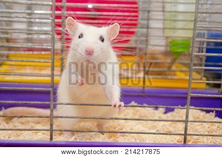 Funny white laboratory rat standing and looking out of a cage (shallow DOF selective focus on the rat eyes and ears)