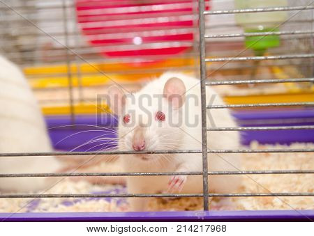 Cute laboratory rat looking out of a cage in a laboratory (shallow DOF selective focus on the rat eyes)