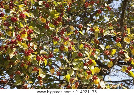 ripe berries of a guelder-rose on a tree against the background of the sky