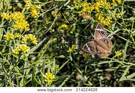 Buckeye butterfly and honey bee on a flower.