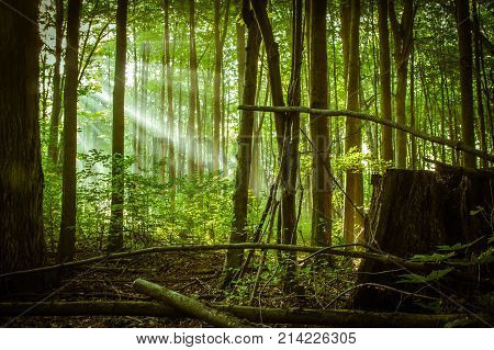 Sunlight Through The Trees. Beautiful lush green Michigan forest with sunbeams streaming through the trees