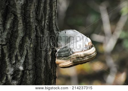 Fomes fomentarius mushroom on tree. Tinder fungus in nature