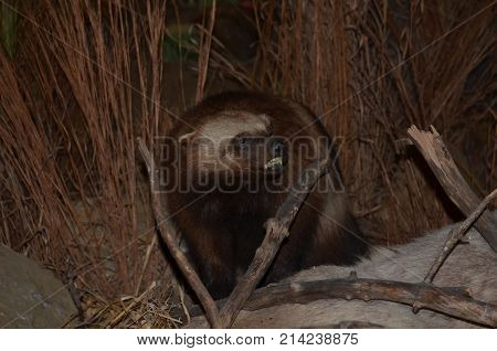 A nasty Wolverine hiding in the brush