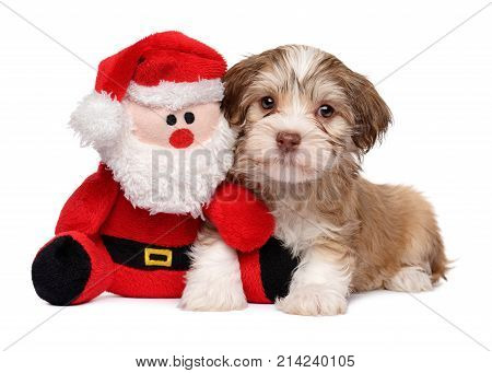 Santa Claus is my friend - Cute Havanese puppy dog with a plush toy - Isolated on white background