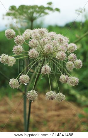 Hemlock Water Dropwort umbellate inflorescence blooming flowers deadly plant close to