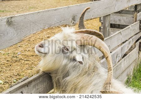 Mountain Goat. A Funny Mountain Goat.
