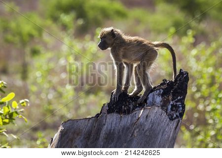 Chacma baboon in Kruger national park, South Africa  Specie Papio ursinus family of Cercopithecidae