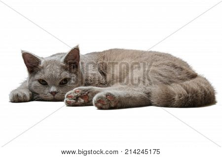 British lilac cat lies on white background paw in the foreground looking right