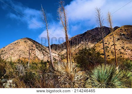 Yucca Plants and chaparral shrubs taken on an arid landscape in Cajon, CA poster