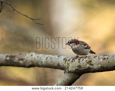 House Sparrow, Passer Domesticus, Sitting On A Branch With Soft Background