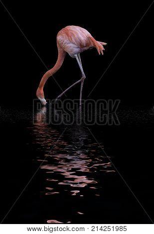 Beautiful Image Of Caribbean Flamingo Phoenicopterus Ruber Reflected In Lake Water