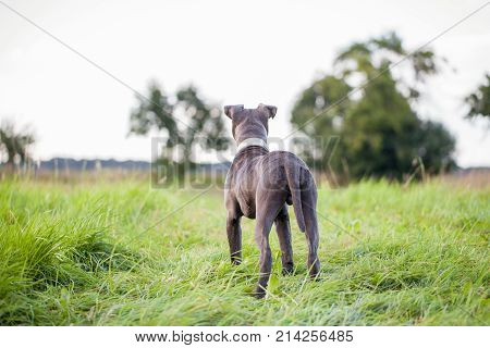 pitbull dog with blue collar on grass background
