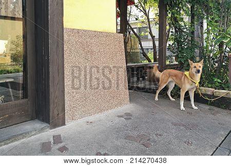 Young brown shiba inu Japanese dog standing