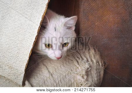 White White smooth-haired cat plays hide and seekcat playing hide and seek