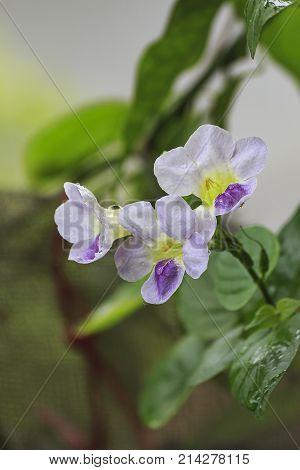 Asystasia gangetica flower. Flowers in the garden