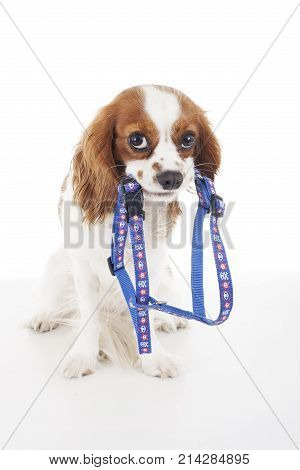 Beautiful friendly cavalier king charles spaniel dog. Purebred canine trained dog puppy. Blenheim spaniel dog puppy with dog harness. Cute.