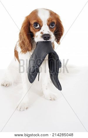 Beautiful friendly cavalier king charles spaniel dog. Purebred canine trained dog puppy. Blenheim spaniel dog puppy thief. cute.