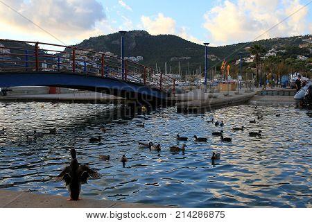 Enten am Hafen von Port d'Andratx auf Mallorca
