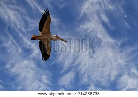 Pelican hovers in a blue sky with clouds with open wings during migration in Israel white background