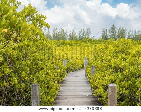 Close up of a wooden bridge of Ceriops Tagal with golden ceramics Tagus background in a mangrove forest located at Prasae Rayong Thailand.