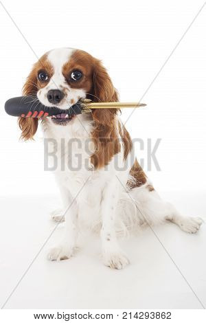 Beautiful friendly cavalier king charles spaniel dog. Purebred canine trained dog puppy. Blenheim spaniel dog puppy with screw driver. Cute.