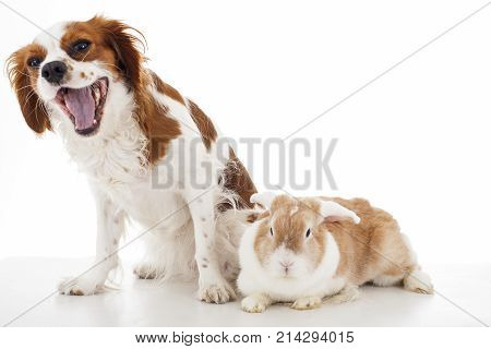 Cavalier king charles spaniel with easter bunny lop rabbit. Dog and rabbit together. Animal friends. Cute illustration photo for any concept. Cute.