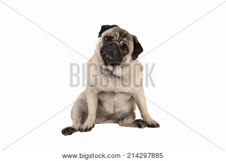 funny cute pug puppy dog sitting down looking amazed isolated on white background