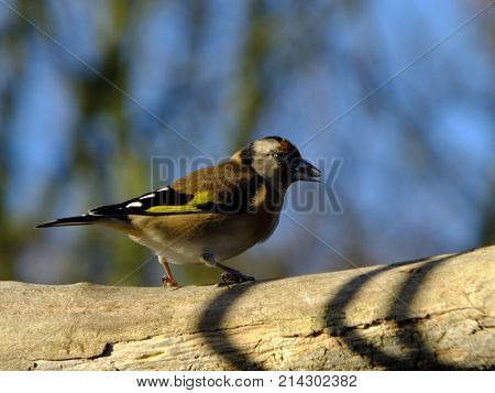 Goldfinch perched on branch with seed in beak