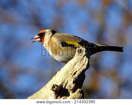 Goldfinch perched on an old tree branch, late autumn