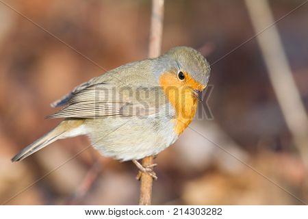 Close up of a Robin (Erithacus Rubecula)