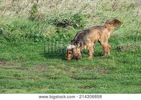 English Cocker Spaniel puppy on a scent in the countryside.