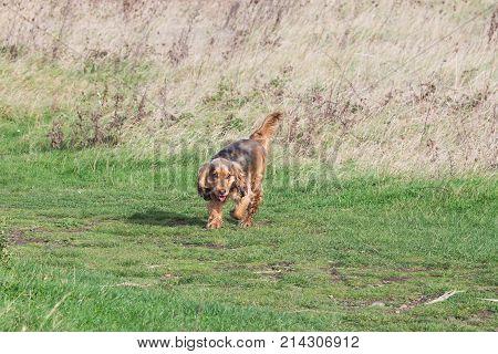 English Cocker Spaniel puppy running in English countryside.